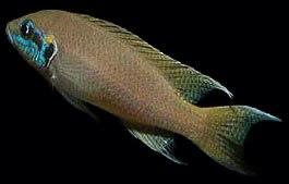 Neolamprologus brichardi, Cichlidae endémique